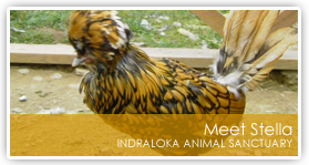 Thank you for visiting the Indraloka Animal Sanctuary website.